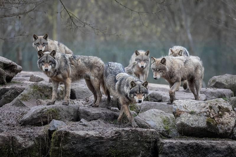 Vlk má ve Spojených státech problém. Od loňského prosince není na seznamu chráněných amerických šelem.