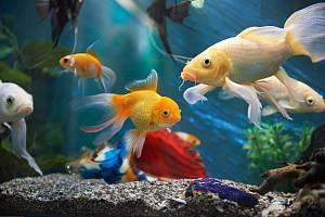 Akvarijní rybičky - Ilustrační foto