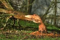 Na Chebsku žije silná populace bobrů. V poslední době se objevují stopy jejich přítomnosti i v samém centru Chebu.
