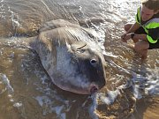 Na australské pláži uvázl měsíčník svítivý