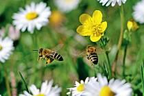 Pokud by zkrajiny zmizely všechny včely ačmeláci, nastala by katastrofa.