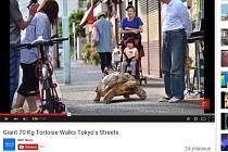 Obří želvu si vybral jako svého společníka ředitel jedné japonské pohřební služby. Zvíře, které je v Asii považováno za symbol nesmrtelnosti, venčí v ulicích Tokia.