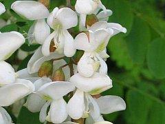 Květ akátu. Ilustrační foto