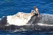 Australan se svezl na mrtvé velrybě, kterou okusovali žraloci.