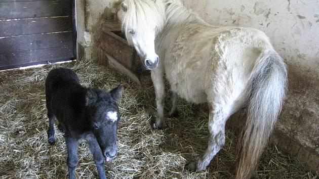 Malý poník je potomkem samičky Princess a samce Hectora von Tanneck a v libereckém chovu má pořadové číslo 137.