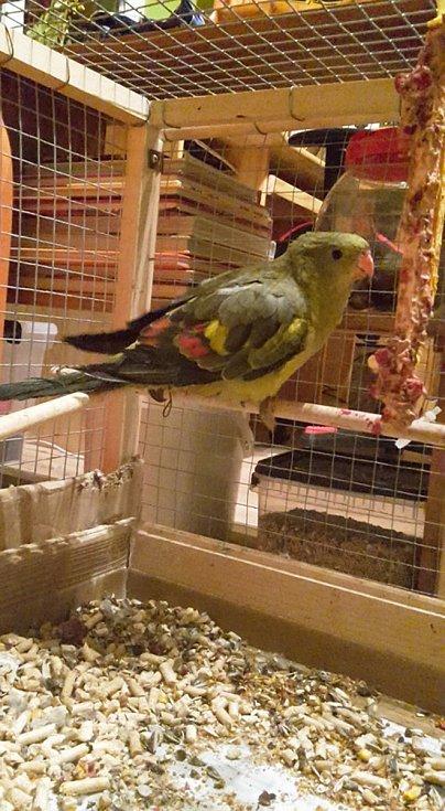 Zraněný papoušek po výbuchu propan butanové bomby ve Smržovce skončil v útulku Dášenka v Lučanech.