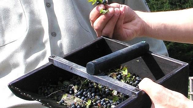Sběrači borůvek drancují keříky hřebeny.