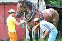 Šimi je právě vyšetřován veterinárním lékařem Jaromírem Baudyšem mladším. Tažný kůň utrpěl pádem naštěstí jen lehké zranění ve formě oděrků, zachránil ho masivní chomout, který nedovolil, aby se Šimi udusil. Za chvíli se vypraví odpočívat.