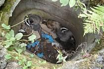 V Turnově (části obce Hrubý Rohozec) spadli do betonové skruže 3 jezevci. Hasiči je zachránili.