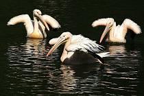Vypouštění pelikánů v liberecké ZOO na jezírko.