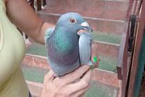 Zraněný poštovní holub z Polska je na doléčení v lučanském útulku Dášenka.