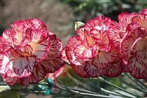 Retro květina. Karafiát máme spojený s Mezinárodním dnem žen.