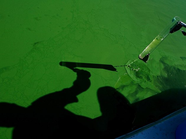 Sinice zbarví hladinu do zelena.
