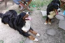 Příběh bernského salašnického psa Goffa.
