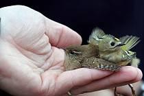 V nejvýše položené osadě Jizerských hor na Jizerce začala v pátek večer akce s názvem Den dravců 2008, kterou pořádá Společnost pro Jizerské hory o.p.s. v tamním Středisku ekologické výchovy. Odchyt a kroužkování ptáku ukázal ornitolog Martin Pudil.