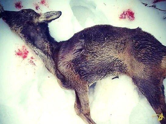 Nedaleko Cvikova štěně napadlo vyhublé vysílené srnče, i přes to, že šlo o mladého psa, zvíře fatálně zranil. Vysvobozením byla myslivcova rána z milosti.