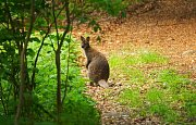 Rok a půl staré mládě klokana, vážící cirka dvacet kilogramů a slyšící na jméno Skippy, pobíhalo v okolí Černé Studnice.