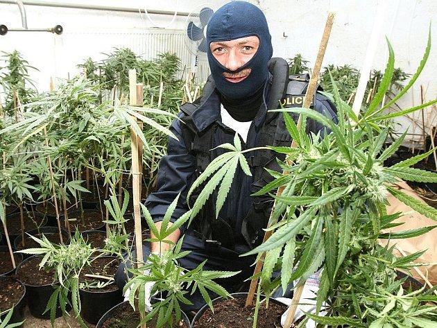 Likvidace rostlin marihuany v nelegální pěstírně.