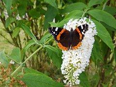 Motýlí louky zmizely, dotace skončily. Vznikají ale soukromé květné zahrady. Motýlům se daří dobře u záhonů postupně květoucích letniček a trvalek. Také potřebují prostor, kde přezimovat. Tam kde jsou motýli najdete i další hmyz.