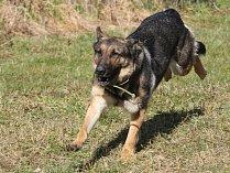 Policejní pes - ilustrační snímek
