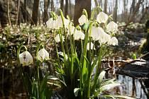 Bledule jarní dominuje romantickému údolí Peklo u České Lípy. V těchto dnech pokrývá tato nádherná kytka velká pole bažinatých břehů Robečského potoka.