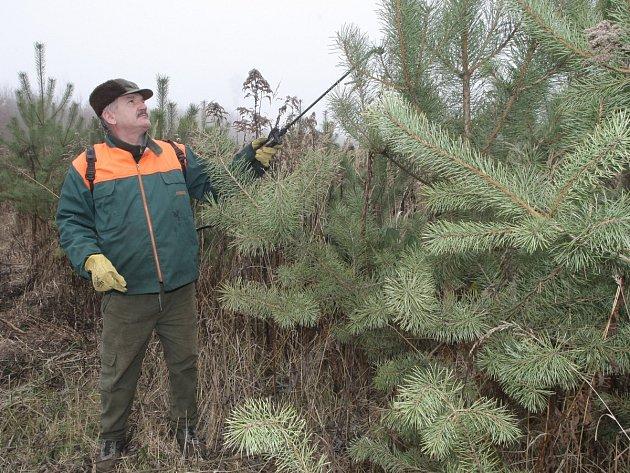 Lesníci se brání krádežím vánočních stromků nástřikem páchnoucí tekutiny nebo stříháním některých větví.