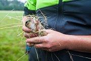 Pracovníci Agentury ochrany přírody a krajiny ČR vypustili 24. července na letišti v Hodkovicích nad Mohelkou 20 syslů obecných. Zvířata by měla posílit zdejší populaci.