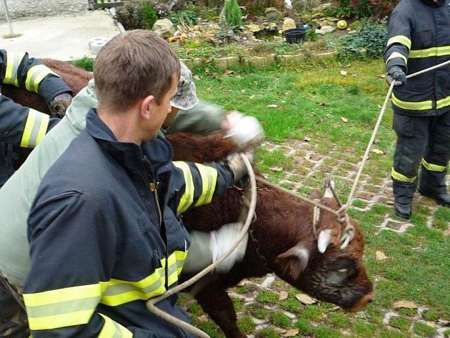 V obci Studnice na Turnovsku prorazil ve středu ráno býk ohradník a utekl. Na místo přijeli majiteli pomoci profesionální hasiči. Zvířeti dal utlumující injekci povolaný veterinář.