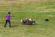 Mistrovství republiky v pasení ovčáckými psy pokračovalo 20. srpna v obci Rakousy na Semilsku. Se stádem ovcí se soutěžilo v kategoriích přehánění stáda nebo jeho rozdělení, oddělení ovce od stáda nebo nahnání stáda do ohrady.