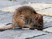 Potkan na ulici - ilustrační snímek