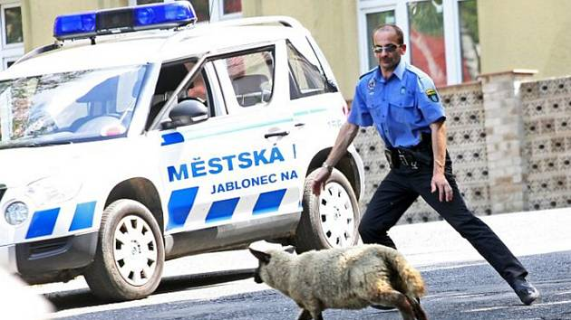 Strážníci při odchytu ovce.