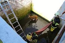 Záchrana srnce, který spadl v jabloneckém Mšeně do hluboké jímky. Pomohli na svobodu hasiči.