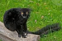 Lemur černý - ilustrační foto