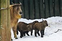 TAKINI. Liberecká zoo je jediná mimo Japonsko a Čínu, která chová vzácného sudokopytníka. Na snímku tři zimní mláďata při první únorové vycházce.