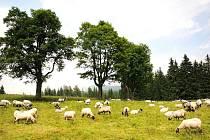 Ovečky zůstanou na Nové Louce zhruba do poloviny července, potom se přesunou na Kristiánov  a následně na Mariánskohorské boudy nad Josefovým Dolem.