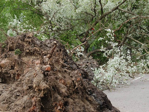 Padlý strom v Mostecké ulici v Jablonci.
