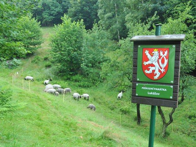 V chráněném území v Lukášově se pasou ovce, krajský úřad louku tímto způsobem udržuje poprvé.
