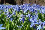 Před hradem a zámkem ve Frýdlantě právě kvetou na louce ladoňky.