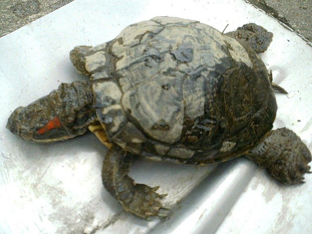 V Novoveském koupališti nalezl hospodář ČRS Vladimír Jiříček mrtvou želvu nádhernou.