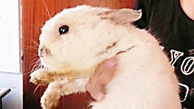 Bílého králíčka našli lidé pobíhat po silnici nad útulkem. Měl štěstí, že ho nikdo nepřejel. Jedná se o zakrslé plemeno, samečka. Odhadované stáří je šest měsíců až jeden rok. Chová se vzorně, nekouše, nechá se sebou manipulovat.