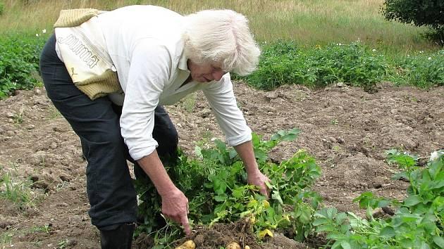 Zemědělkyně Jiřina Barešová kontroluje jakost brambor. Kolem ní je vidět dílo zlodějů zemědělských plodin.