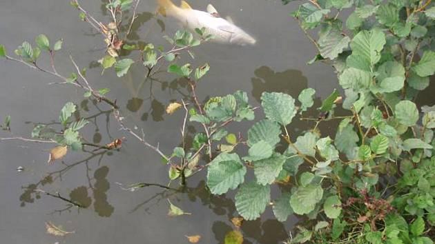 Úhyn ryb - ilustrační snímek