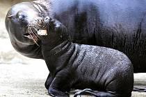 Nový lachtaní přírůstek liberecké zoo se poprvé představil veřejnosti. Za hlasitého povzbuzování matky Lízy opustila teprve sedmitýdenní samička pavilon lachtanů, aby vyzkoušela venkovní bazén.