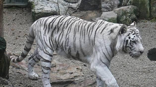 Ve čtvrtek ráno při krmení v liberecké zoo nadzvihli lvi Elsa a Sultán bezpečnosttní dvířka, vnikli do sousedního výběhu a během několika vteřin roztrhali zakladatelku chovu bílých tygrů v Liberci tygřici Isabell. Snímky pocházejí ze středy 18. listopadu