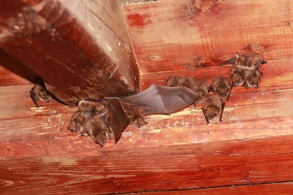 V Českém ráji sčítali netopýry