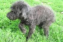 Jedním z pejsků, kteří se po ničivých záplavách na Liberecku dostali do Centra pro zvířata v nouzi Archa v Liberci, tedy do útulku pro psy, je i kříženec pudla Venoušek.