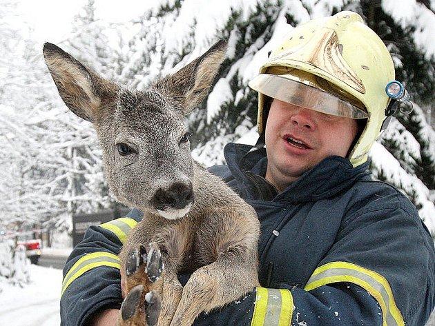 Vystrašený srnec v náručí profesionálního hasiče Zdeňka Průši ani neprotestoval. Na svobodu vyběhl bez zjevného zranění.