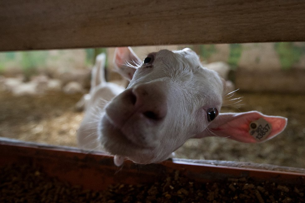 Kozí farma Josefa Pulíčka v Pěnčíně u Jablonce nad Nisou, na které chovají zhruba 1000 koz a 600 ovcí, je největší farmou v republice. Snímek je z 19. července.