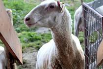 Spokojená ovce z Farmy Lukava