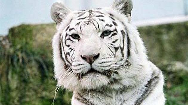 Bílá tygřice Isabella v liberecké ZOO